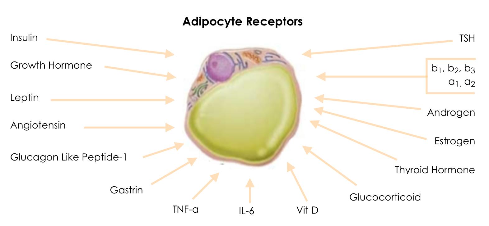 adipose-receptors